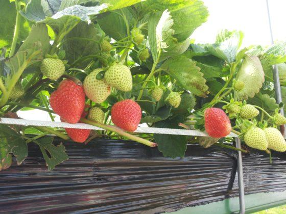 Productnieuws:  nieuw aardbeienras brengt variatie in het schap