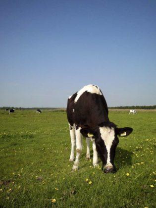 'Meer omega-3-vetzuren in biologische melk- en vlees'