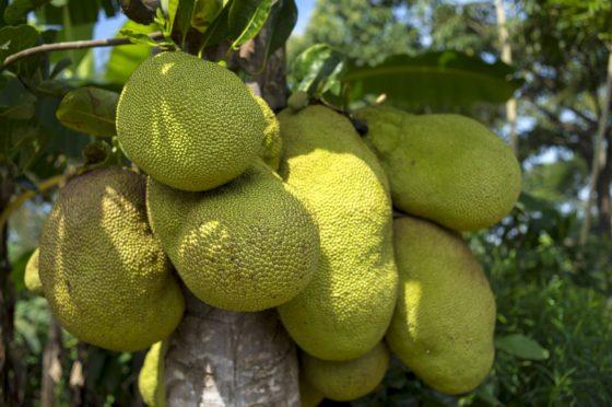 Producten onder de loep: Jackfruit, de rijzende ster onder de vleesalternatieven