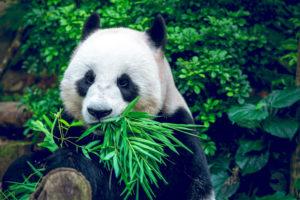 Reuzenpanda eet vegetarisch, maar lijkt op carnivoor