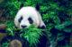 Attachment panda 80x53
