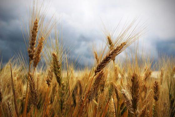 Glutenveilige tarwe stap dichterbij door CRISPR-Cas9-techniek
