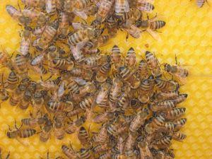 Honing tegen resistente bacteriën