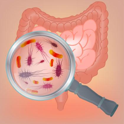 Proefdieronderzoek: 'Darmbacteriën verkleinen de kans op overgewicht'