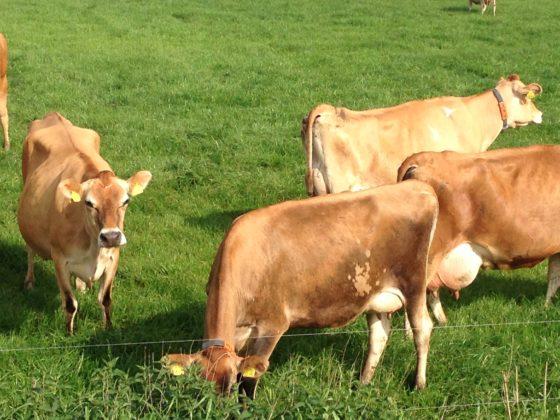 'Beweringen Holland Jersey over de Jersey koe hebben context nodig'