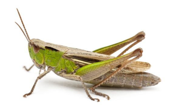 'Insecten eten waarschijnlijk goed voor darmen'