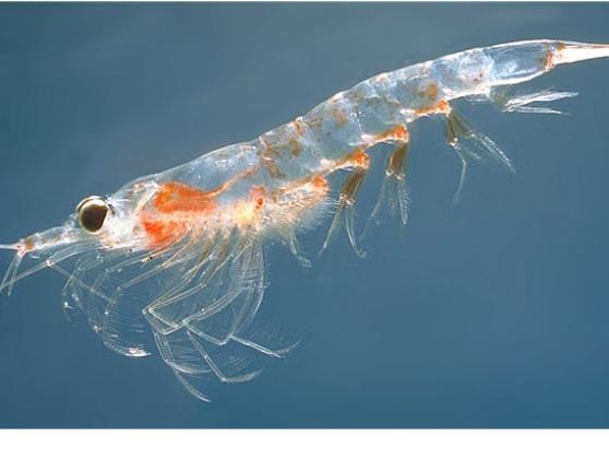 Geen verschil in opname omega-3 uit vis- of krillolie