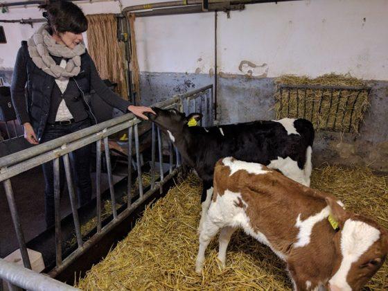 Pouwels melkveehouderij deel 3 – Droge koeien zijn op zwangerschapsverlof
