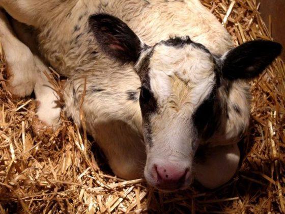 Pouwels melkveehouderij deel 4 – Melkquotum, fosfaatrechten en stierkalfjes
