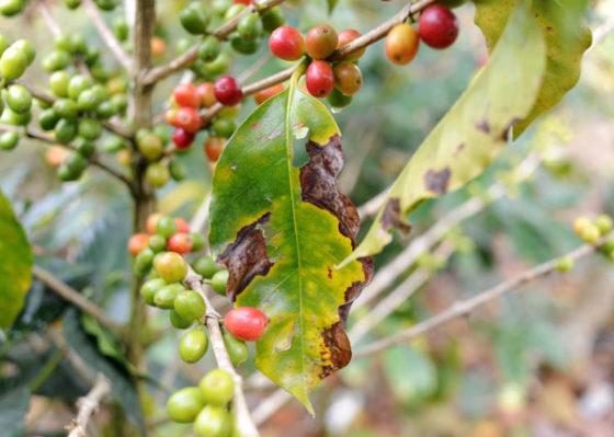 Sterkere koffieplant door genetische manipulatie