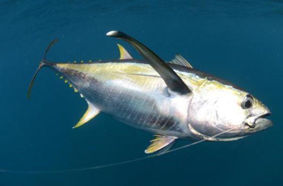 Tonijn in top 3 van favoriete vissoorten, kennis erover beperkt