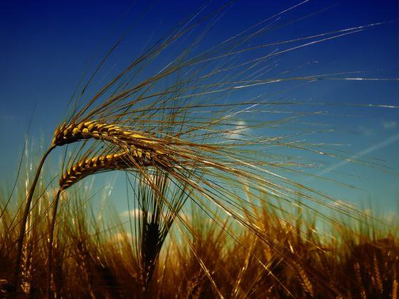 Zorgen over onze gezondheid, granen en ons dagelijks brood (deel 2)
