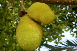 Productnieuws: Meet Jack en Bolscher produceren samen vegan jackfruit producten
